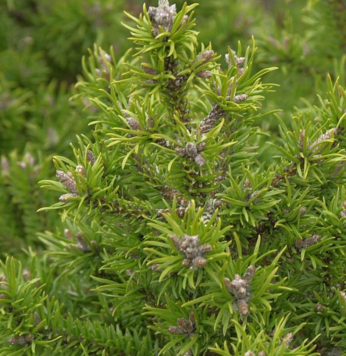 Banks Kiefer Kimmerholz 40-50cm - Pinus banksiana