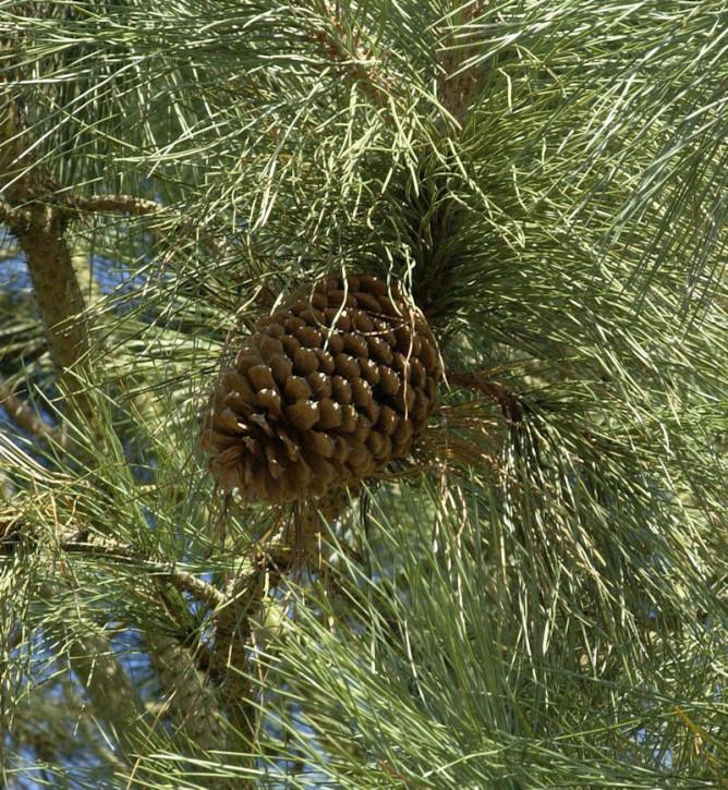 Jeffrey-Kiefer 40-60cm - Pinus jeffreyi