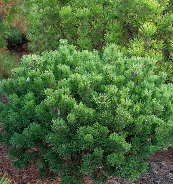 Zwerg Latschenkiefer Klostergrün 20-25cm - Pinus mugo
