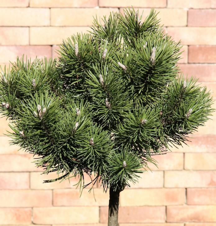 Hochstamm Kugelkiefer Mops 80-100cm - Pinus mugo