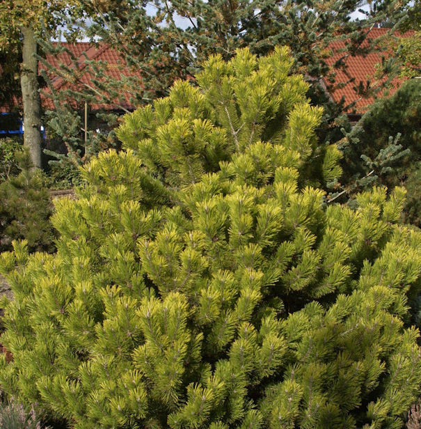 Berg Kiefer Winter Gold 30-40cm - Pinus mugo Winter Gold