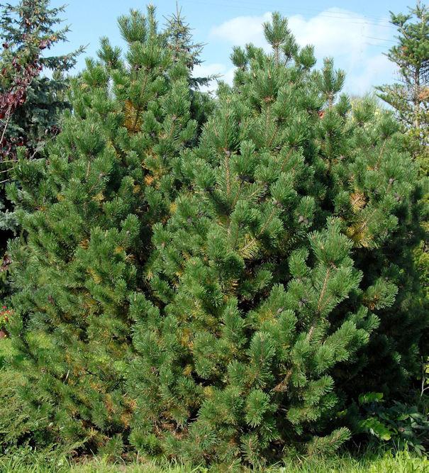 Bergkiefer Latschenkiefer 30-40cm - Pinus mugo