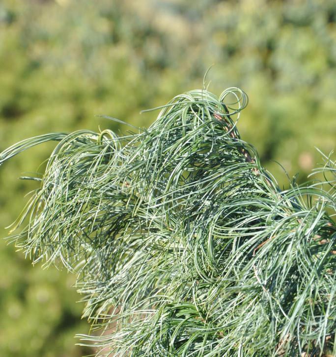 Mädchenkiefer Tiny Curls 25-30cm - Pinus strobus