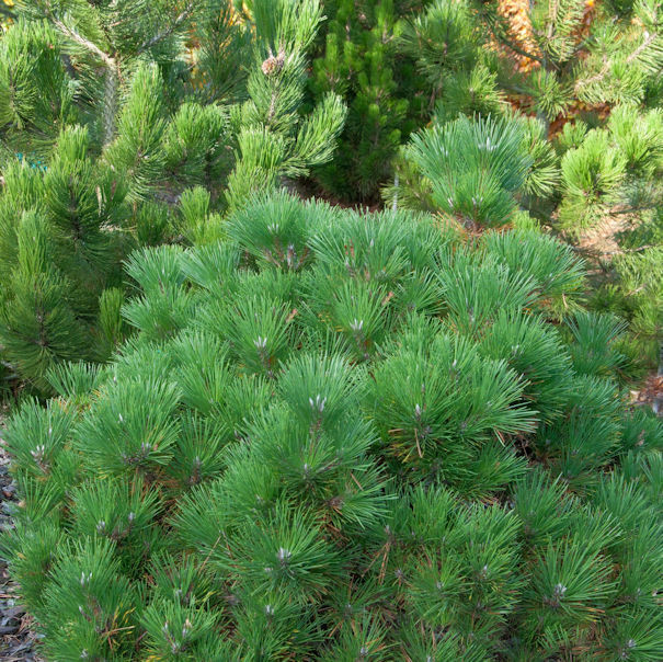 Japanische Schwarzkiefer Maijima 80-100cm - Pinus thunbergii