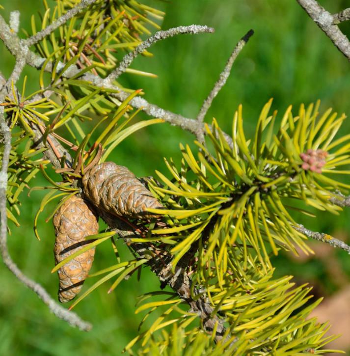 Banks Kiefer 70-80cm - Pinus banksiana