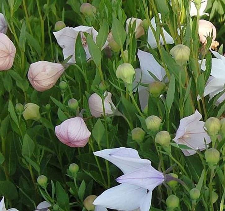Ballonblume Fuji Pink - Platycodon grandiflorus