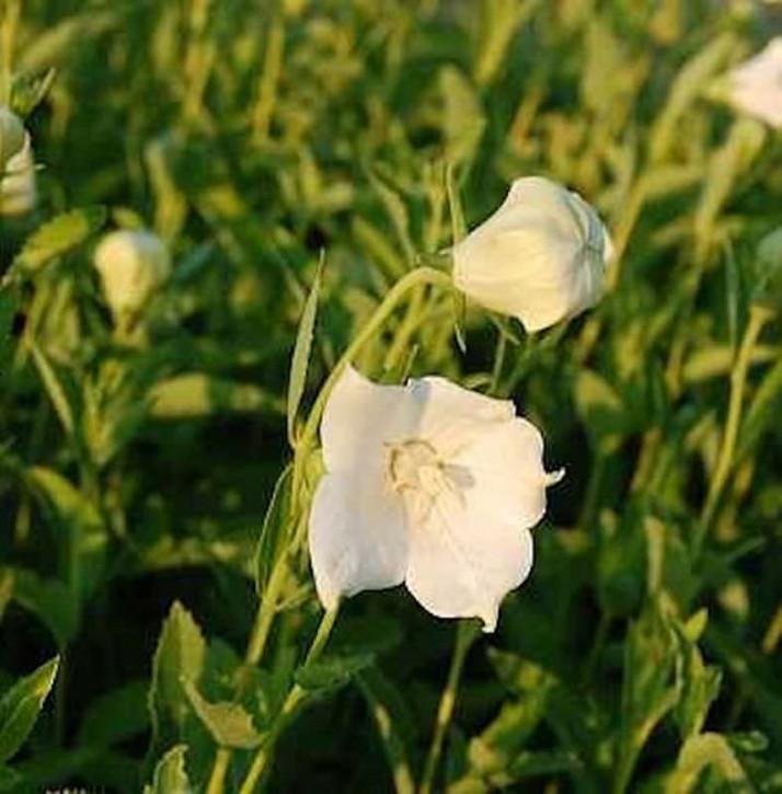 Ballonblume Fuji White - Platycodon grandiflorus