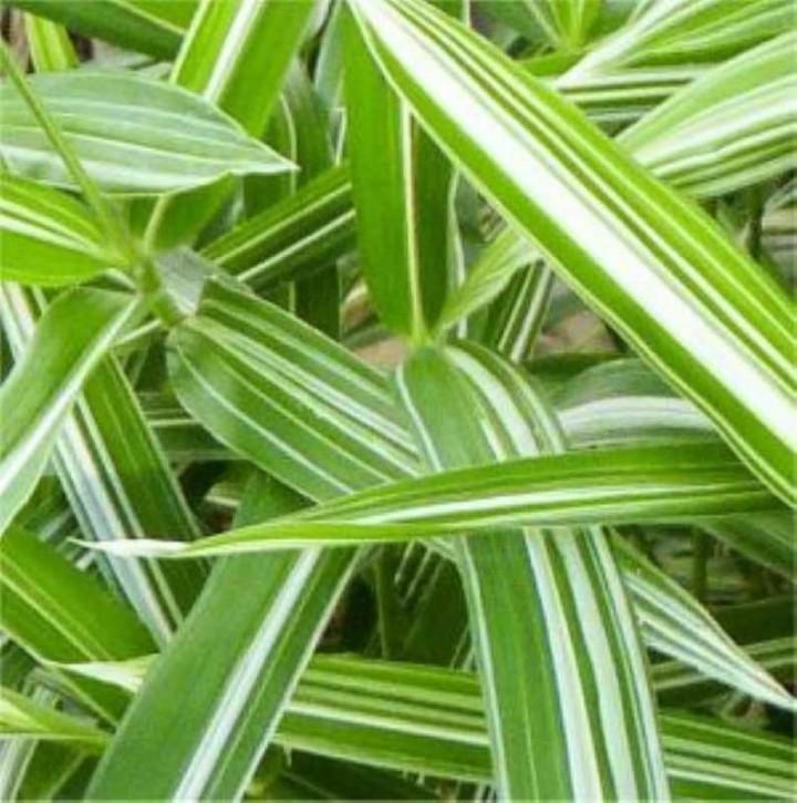 Zweifarbiger Zwergbambus - Pleioblastus variegatus