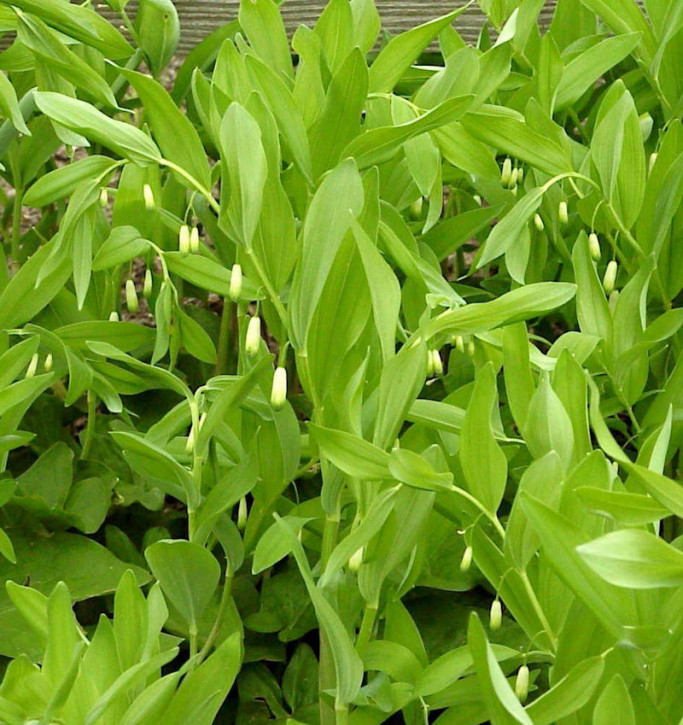 Duftender Salomonssiegel - Polygonatum odoratum