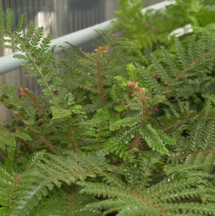 Japanischer Glanzschildfarn - großer Topf - Polystichum polyblepharum