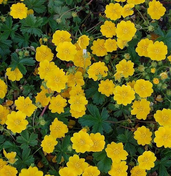 Fingerkraut Yellow Queen - Potentilla cultorum