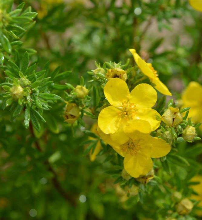 10x Fünffingerstrauch Goldstern - Potentilla fruticosa