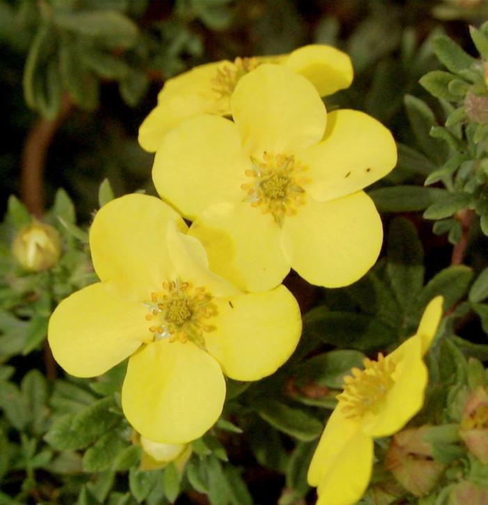 Fünffingerstrauch Sommerflor - Potentilla fruticosa