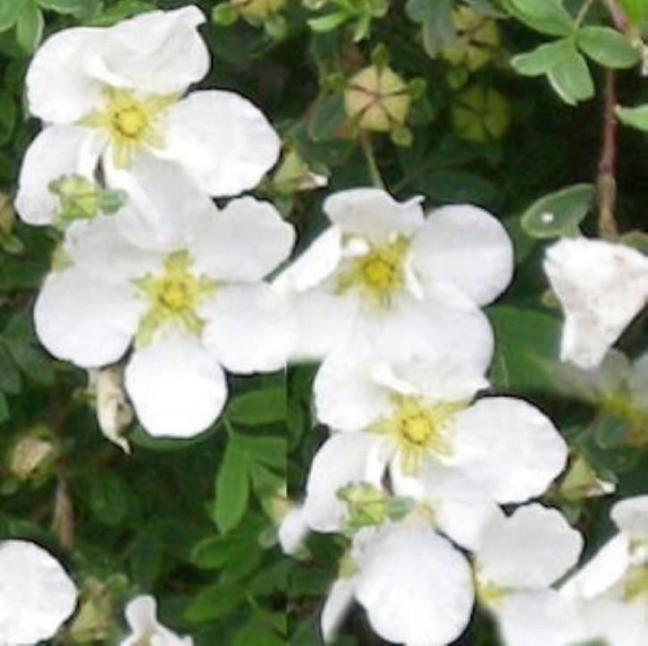 10x Kleiner Spierstrauch Tilford Cream - Potentilla fruticosa
