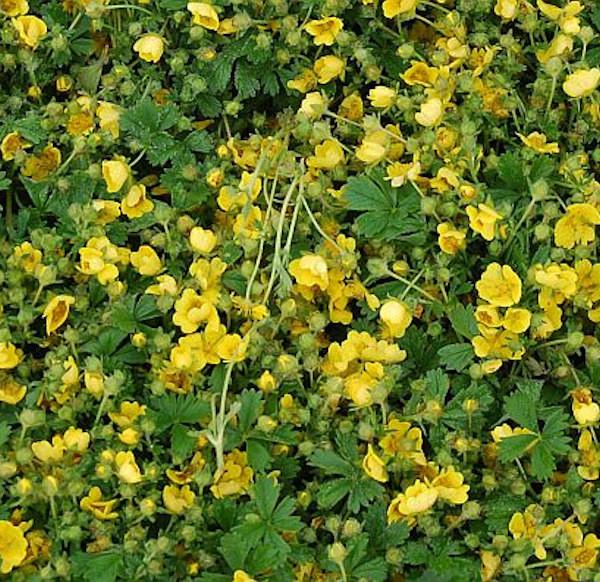 Frühlingsfingerkraut Nana - Potentilla neumanniana