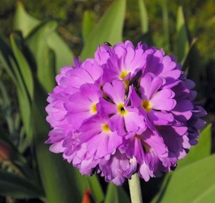 Kugelprimel Corolla Deep Rose - Primula denticulata