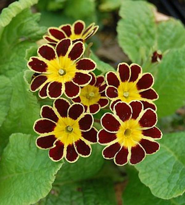 Himmelschlüssel Gold Lace - Primula elatior