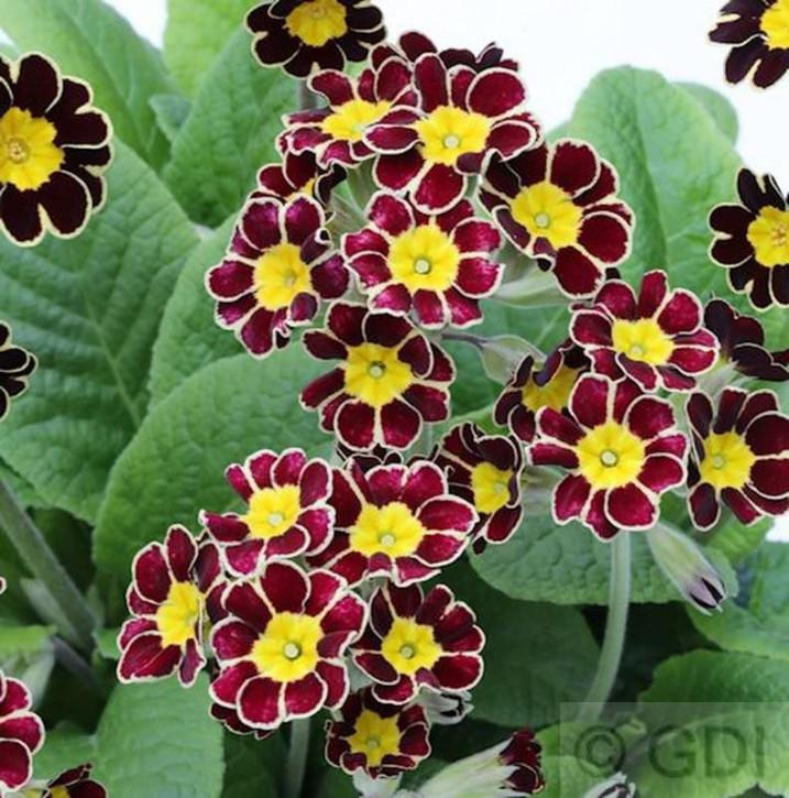 Himmelschlüssel Silver Lace Black - Primula elatior