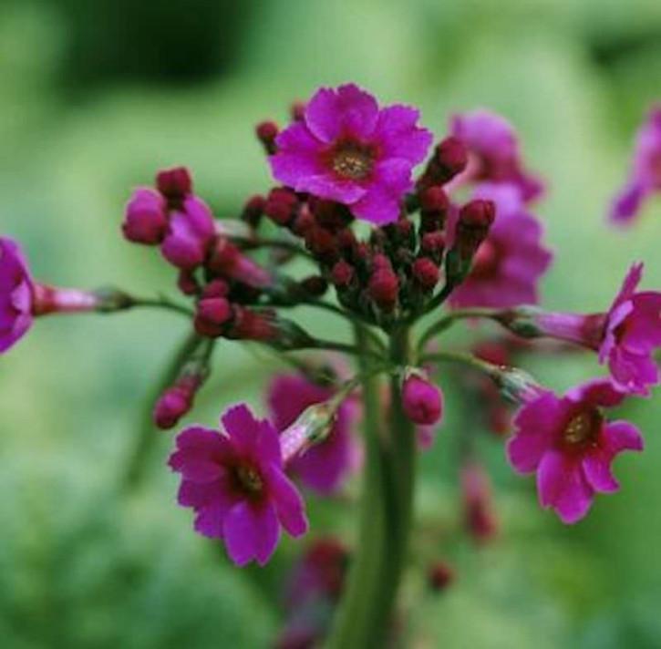Etagenprimel Carminea - Primula japonica