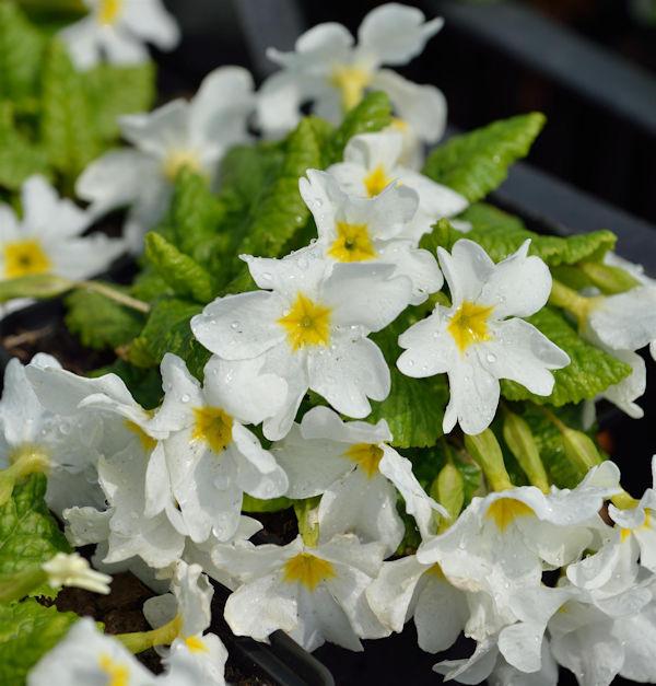 Teppich Primel Snow White - Primula pruhoniciana