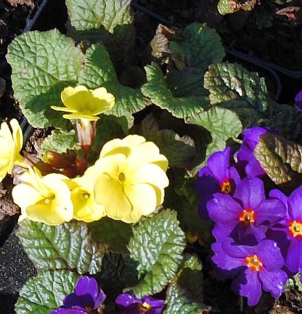 Teppich Primel Wanda Gelb - Primula pruhoniciana