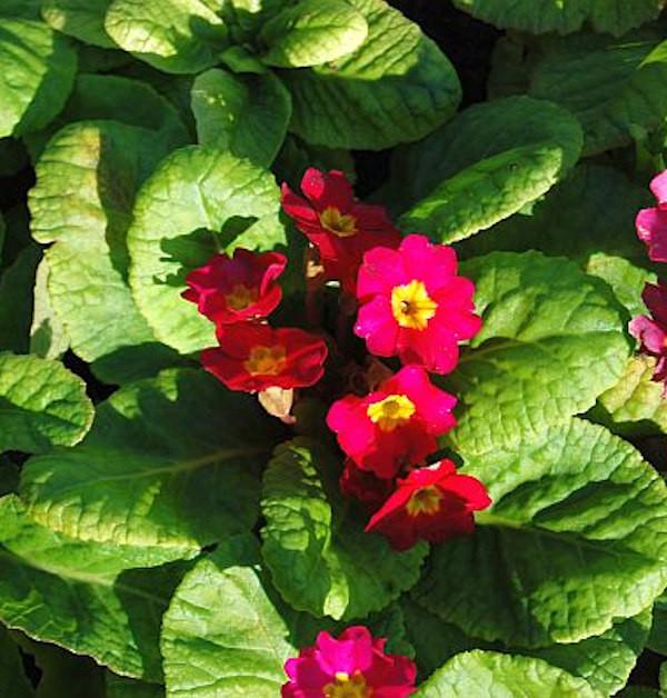 Teppich Primel Rosa - Primula pruhoniciana