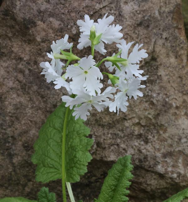 Weiße Siebold Primel - Primula sieboldii