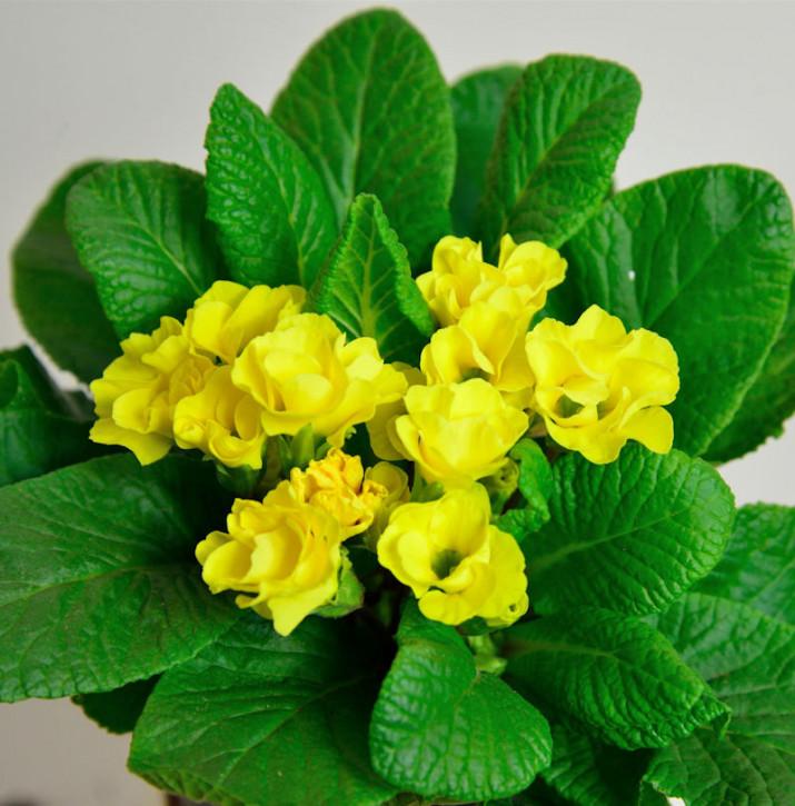 Stängellose Schlüsselblume Sunshine Susie - Primula vulgaris