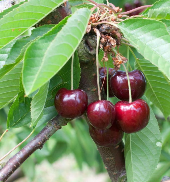 Süßkirsche Späte Knorpel 60-80cm - dunkelrote süße Früchte