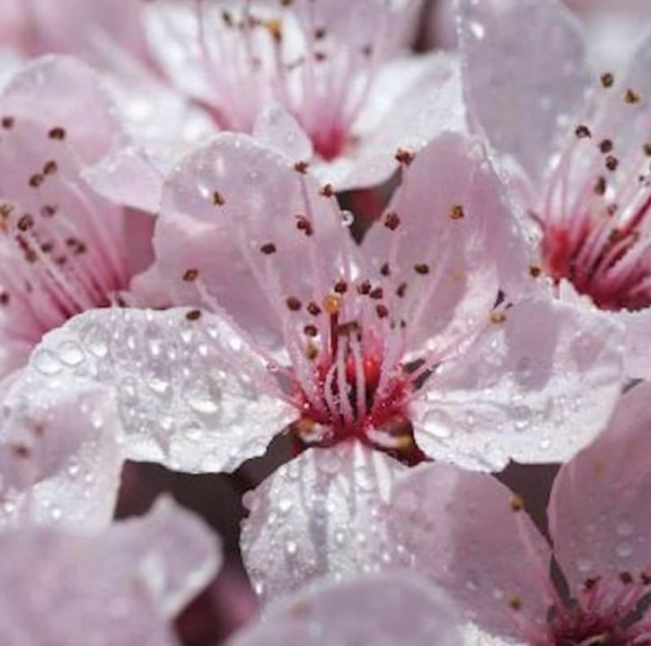 Gefüllt blühende Blutpflaume 100-125cm - Prunus cerasifera