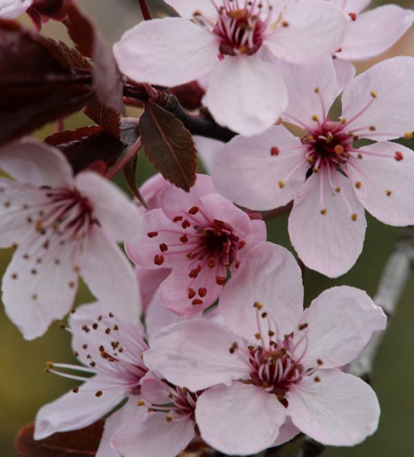 Blutpflaume Spring Glory 80-100cm - Prunus cerasifera