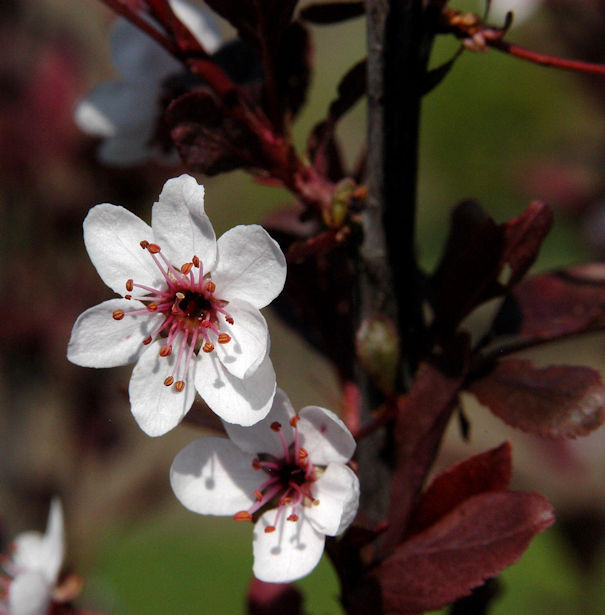 Hochstamm Zwergblutpflaume 80-100cm - Prunus cistena