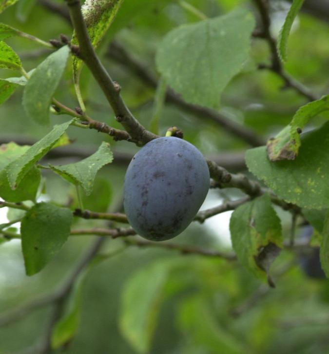 Pflaume Königin Victoria 60-80cm - Prunus domestica