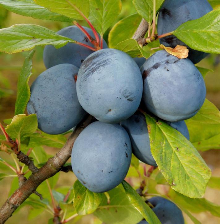 Pflaume Oullins Reneklode 60-80cm - Prunus domestica