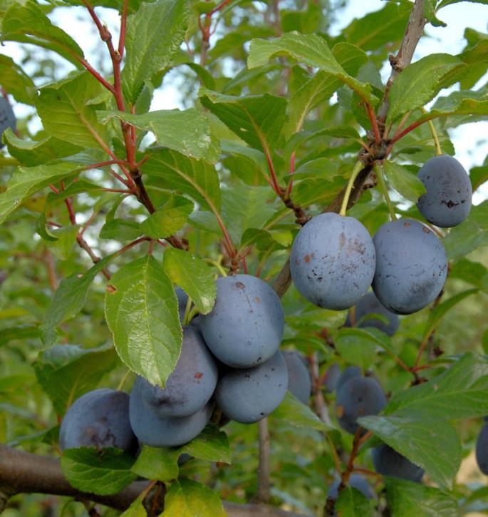 Pflaume Wagenheimer Frühzwetsche 60-80cm - Prunus domestica