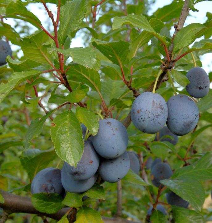 Pflaume Herman 60-80cm - Prunus domestica