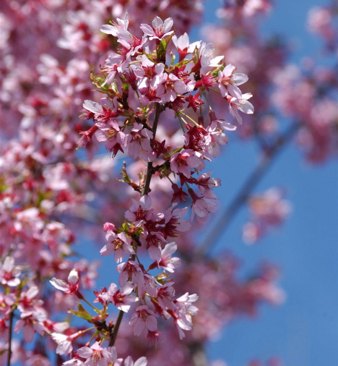 Geschlitzte Zierkirsche Paean 30-40cm - Prunus incisa