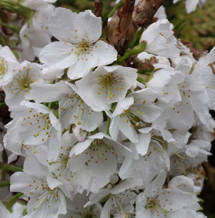 Kurilenkirsche Brillant 40-60cm - Prunus kurilensis