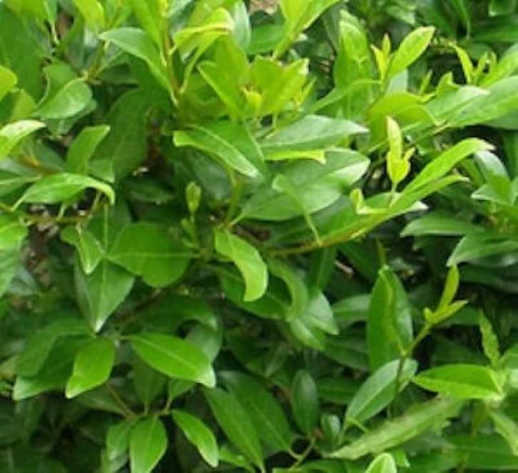 Kirschlorbeer Mano 25-30cm - Prunus laurocerasus