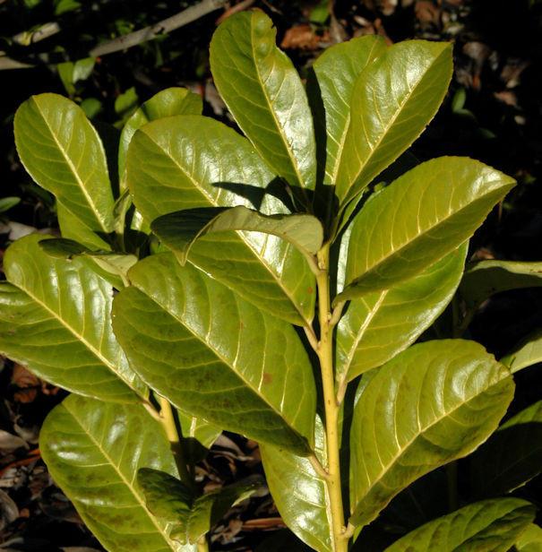Hochstamm Kirschlorbeer Rotundifolia 125-150cm - Prunus laurocerasus