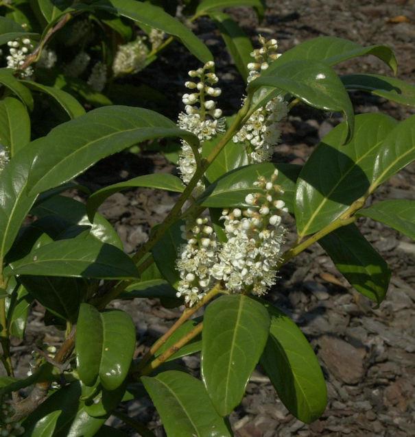 Großblättrige Lorbeerkirsche 40-60cm - Prunus laurocerasus