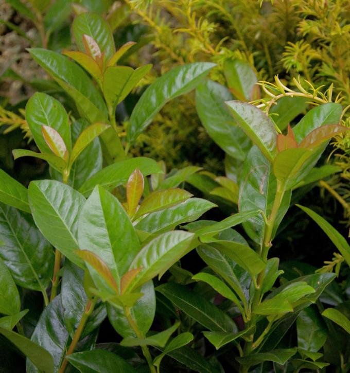 Lorbeerkirsche Titan® 60-80cm - Prunus laurocerasus