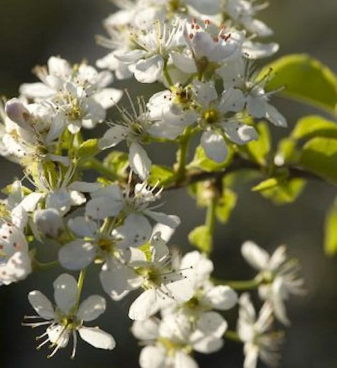 Steinweichsel 60-80cm - Prunus mahaleb