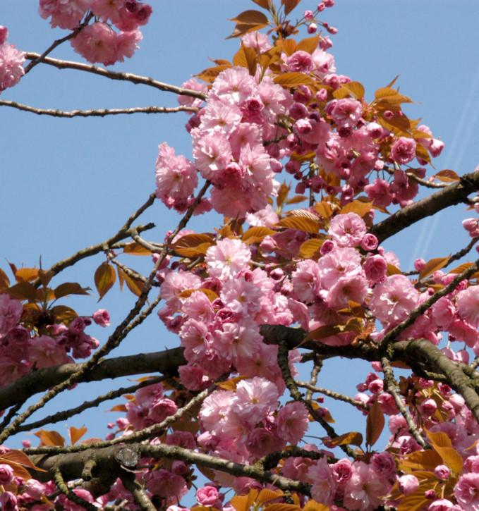 Hellrosa Nelkenkirsche 100-125cm - Prunus serrulata