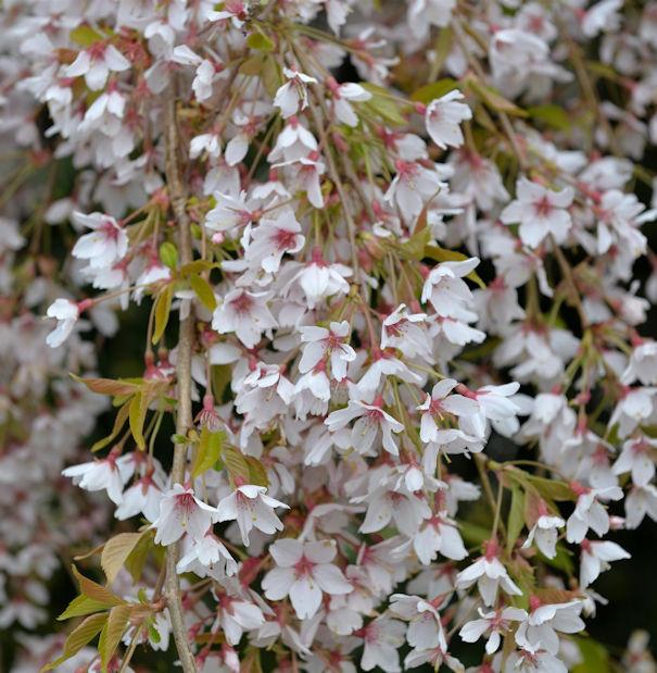 Frühlingshängekirsche 80-100cm - Prunus subhirtella