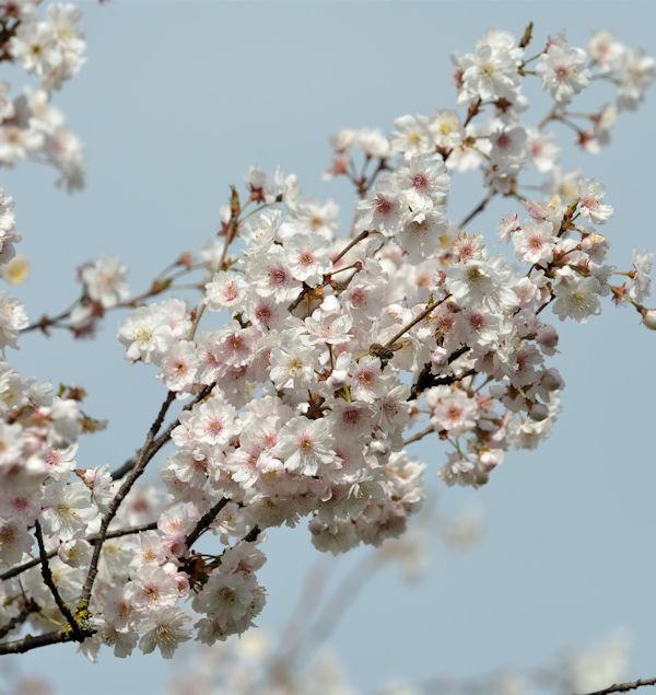 Higan Kirsche Plena 100-125cm - Prunus subhirtella