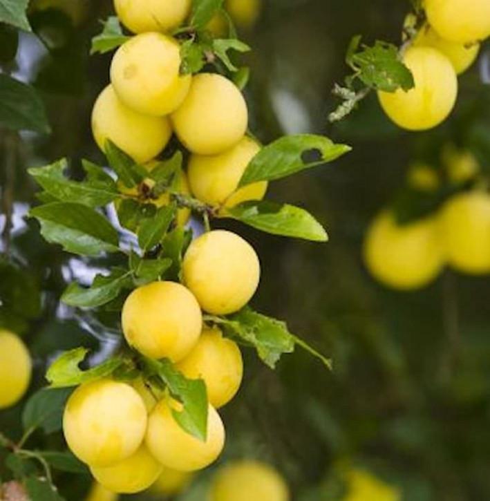 Mirabelle von Metz 60-80cm - Prunus syriaca