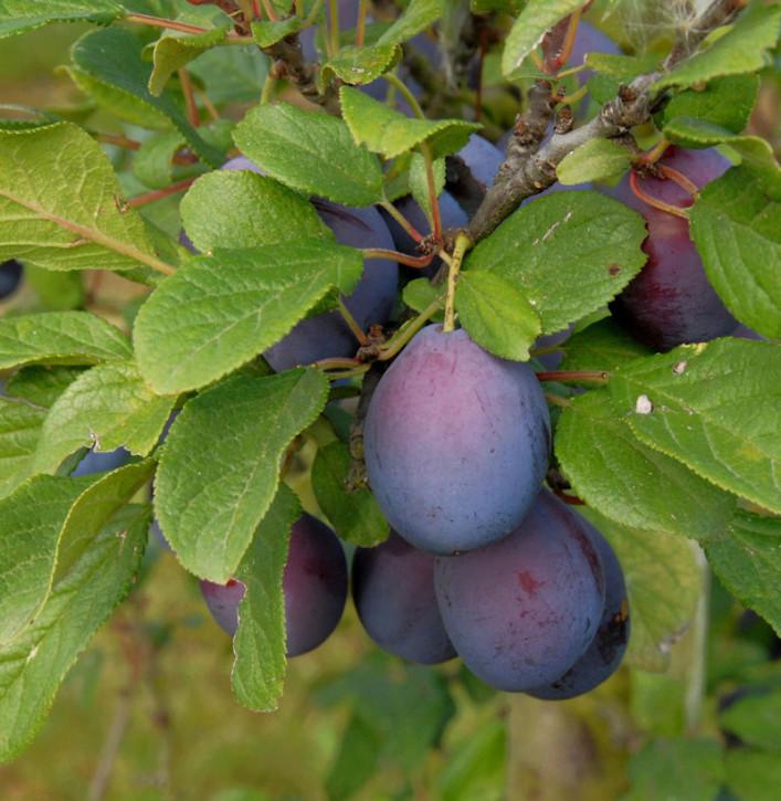 Pflaume Graf Althans Ringlotte 60-80cm - Prunus domestica