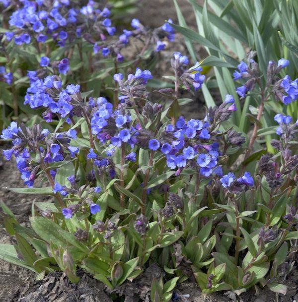 Schmalblättriges Lungenkraut Blaues Meer - Pulmonaria angustifolia