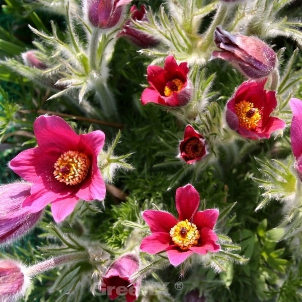 Küchenschelle Pinwheel Rot - Pulsatilla vulgaris